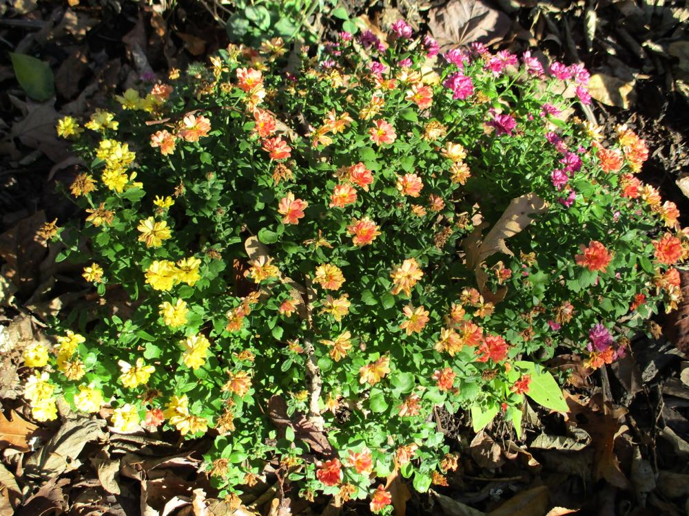 This combination of three different mum colors formed a mound in one of my lower flower beds.