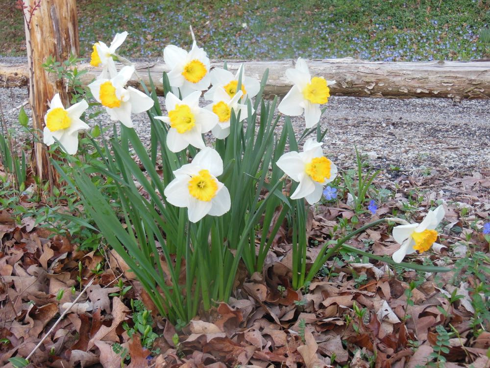 There are more than 20,000 different daffodil species, all deer-resistant and hardy.