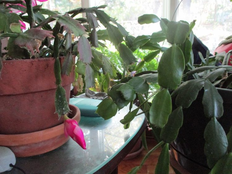 the cactus on the left is a thanksgiving cactus the one on the right a - How To Make A Christmas Cactus Bloom