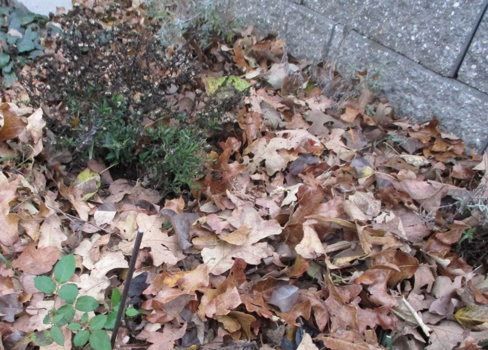 Hopefully by December we will have a hard frost and flower beds can be mulched to keep soil temperatures even. I pile oak and hickory leaves on mine, or let leaves fall where they may.