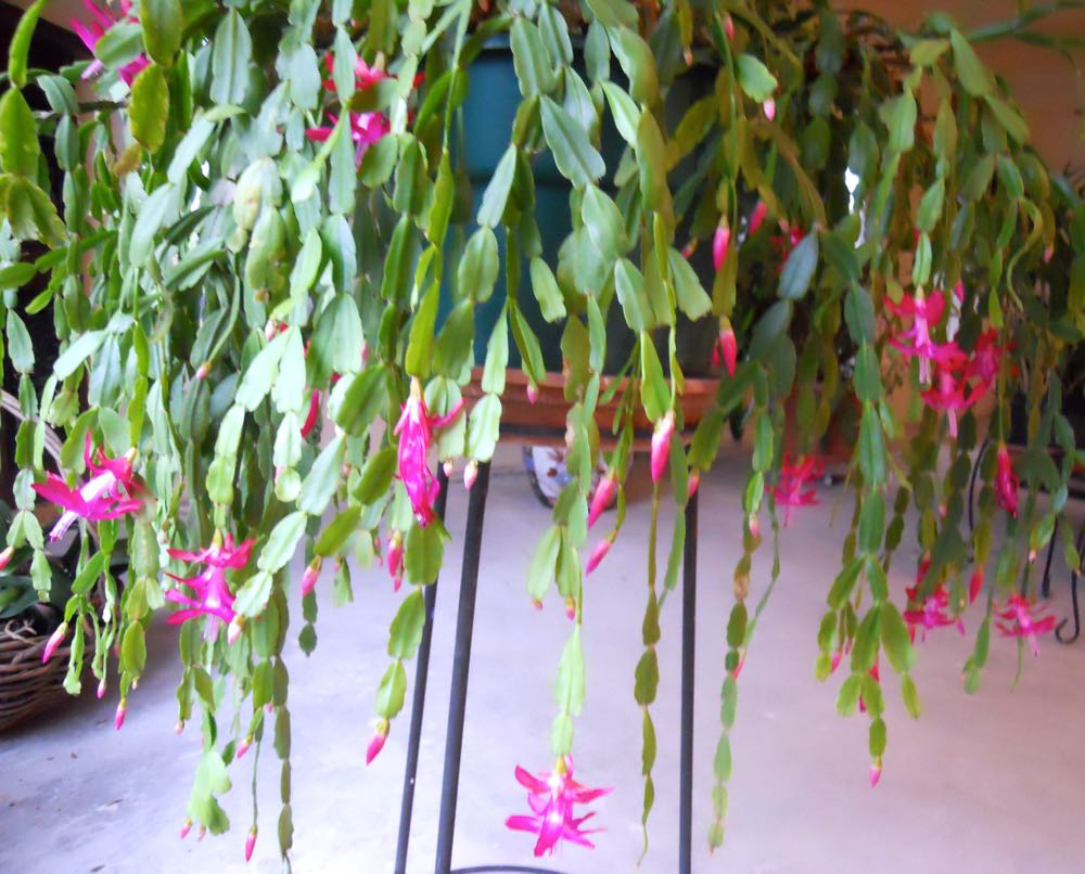 This is a very old Christmas cactus, I feel so lucky to now be the caretaker of this lovely plant.