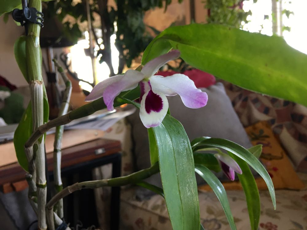 This orchid from Burma is from my master gardener friend Harriet Bain, love the delicate flower!