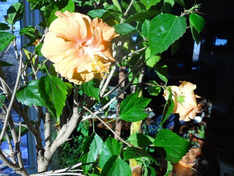 Winter Flowering Peach Hibiscus Gardening Charlotte