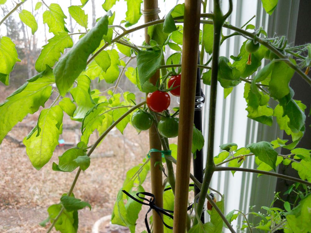 Here's a closer look of the two ripe cherry-size tomatoes that have ripened in my window.