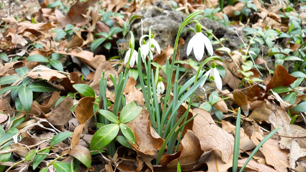 Snowdrops  galanthus  have popped up around one of my tiny front ponds.