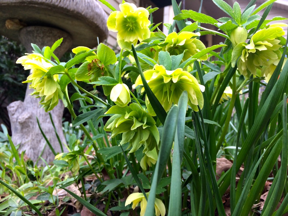 Here are my yellow hybrid hellebores all blooming in a bunch on my hillside.
