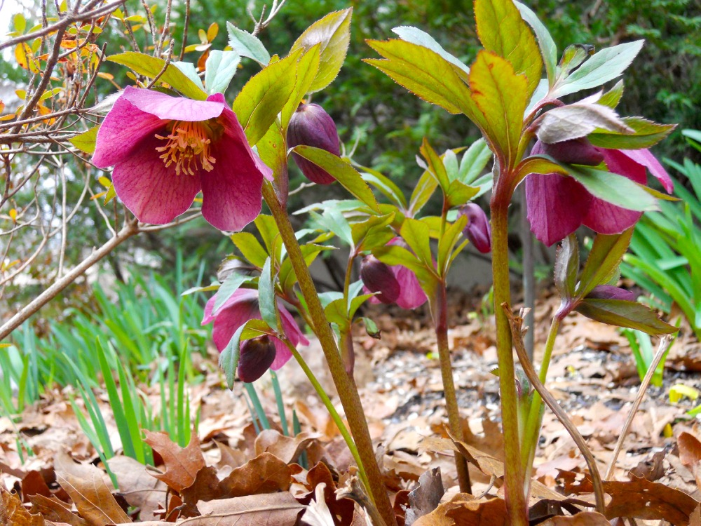 These burgundy hybrid hellebores popped up and started blooming almost overnight.