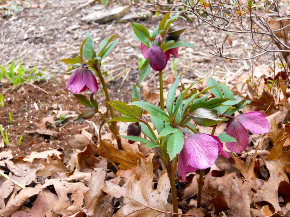 This is how the hybrid hellebores appear in the flower bed, with the sepals hanging down.