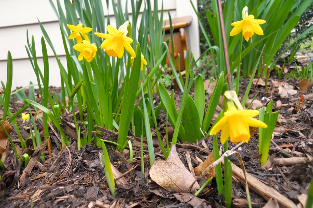 'Tete a Tete' miniature daffodils blooming at the corner of one of my hillside flower beds.