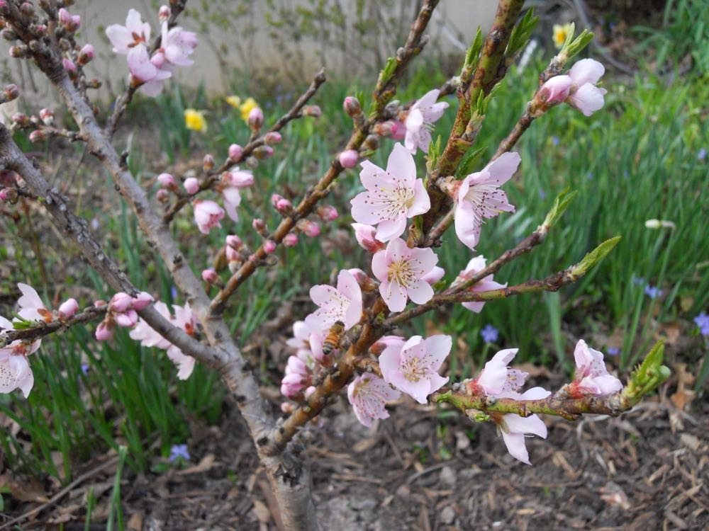 One of my honeybees visits the dwarf patio peach tree blossoms saved by cotton sheets.