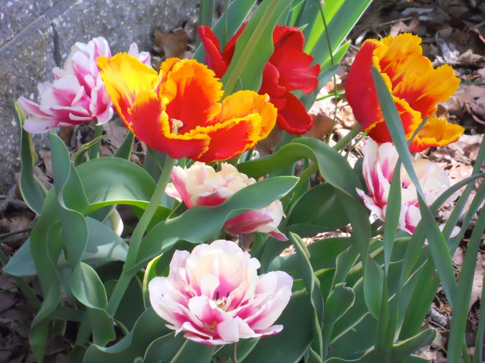 Parrot tulips bloom among double pink tulips in the Bluebird Gardens retaining wall. (Photo by Charlotte Ekker Wiggins)
