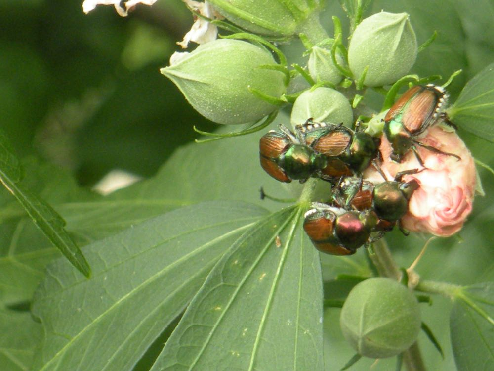 Japanese beetles making a meal out of a Rose of Sharon flower in my garden. (Photo by Charlotte Ekker Wiggins)