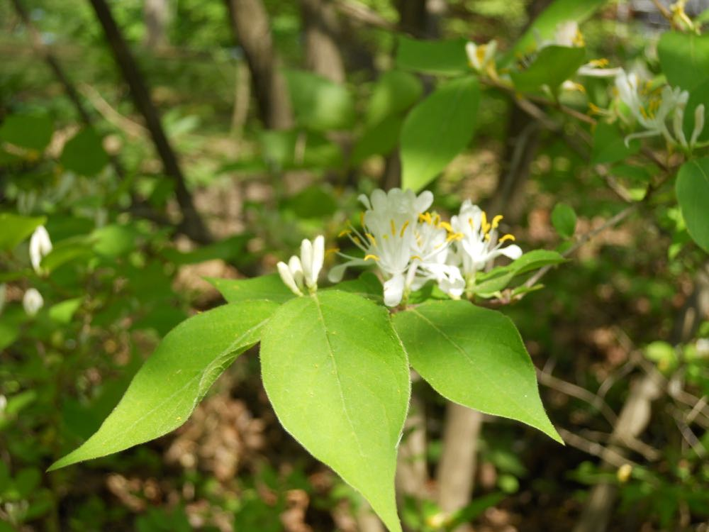 The bush honeysuckle flowers look similar to the native fragrant honeysuckle vines.