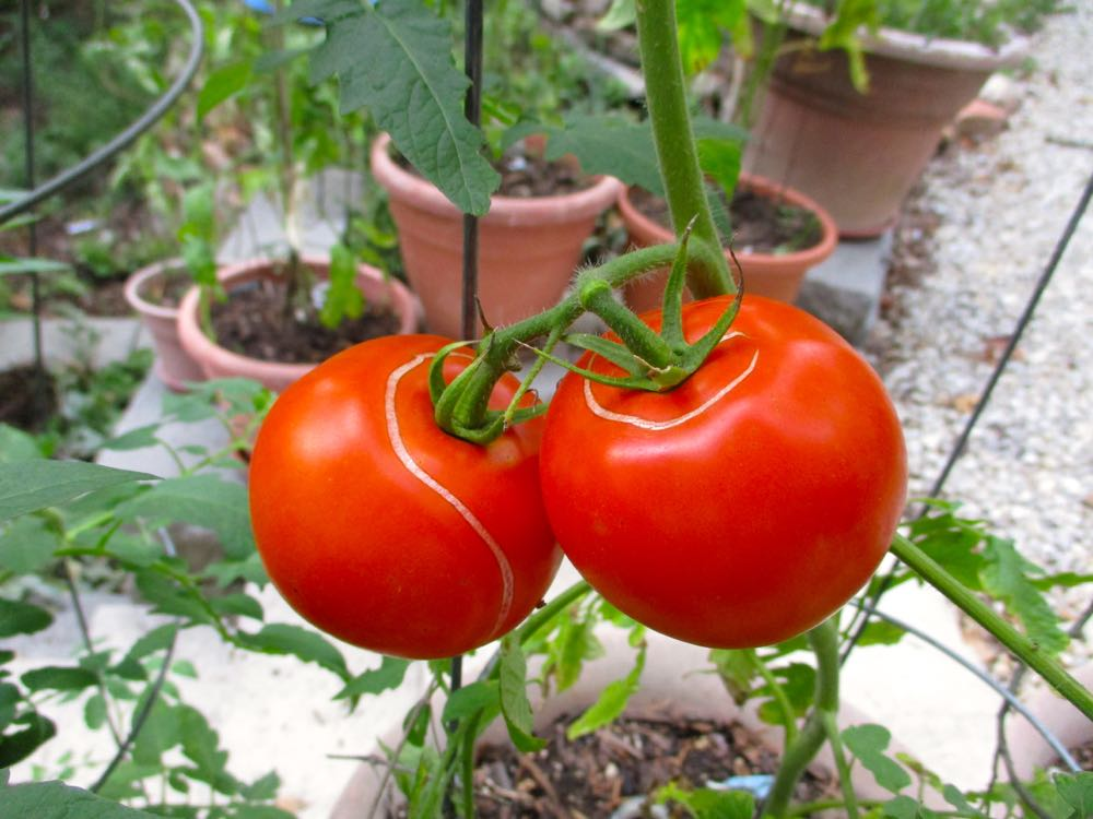 Irregular watering contributes to tomatoes cracking. They're still good, they just look odd!