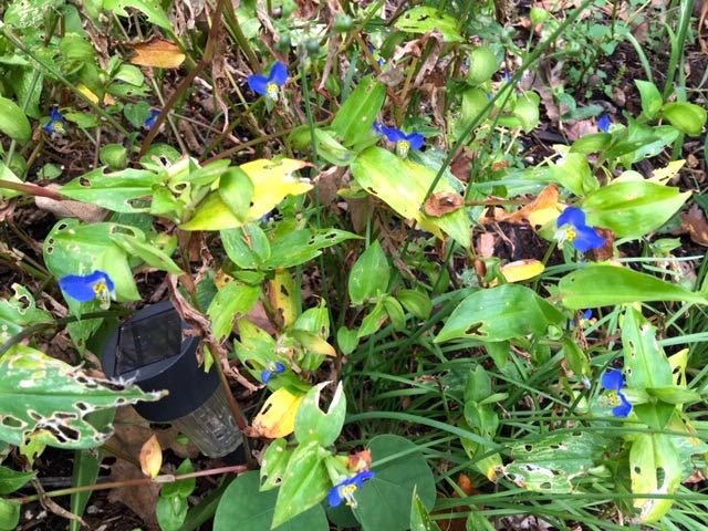 A group of blue dayflowers adding color to a garden corner. (Photo by Charlotte Ekker Wiggins)