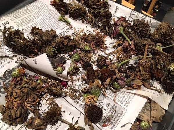 Zinnia flowers drying on newspaper before I store them for next year. (Photo by Charlotte Ekker Wiggins)