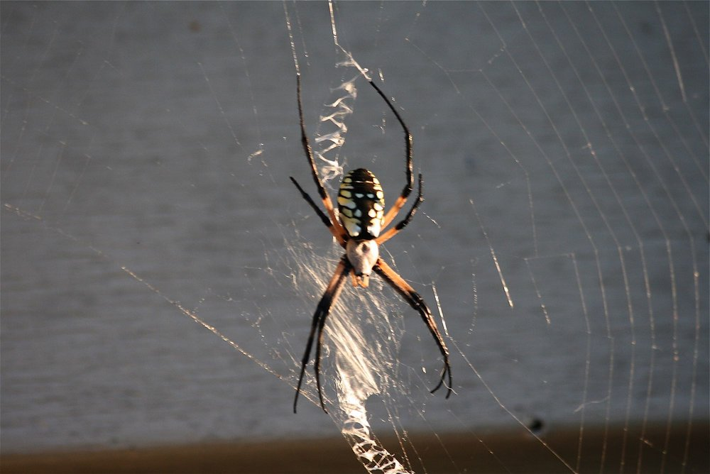 A Missouri garden spider weaving her zig zag web. (Photo by Charlotte Ekker Wiggins)
