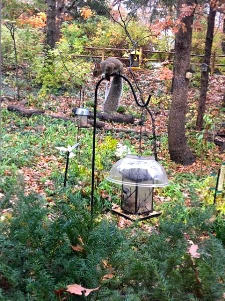 Squirrels like to visit my bird feeders, too, even with their new tops! (Photo by Charlotte Ekker Wiggins)