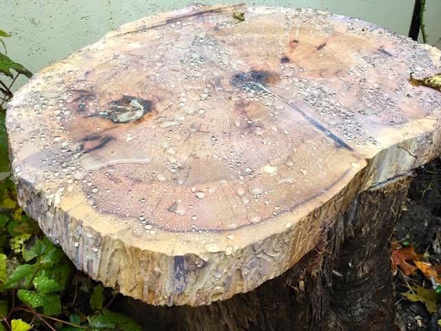 Rain beads up on the cedar stump top now that it has been treated. (Photo by Charlotte Ekker Wiggins)