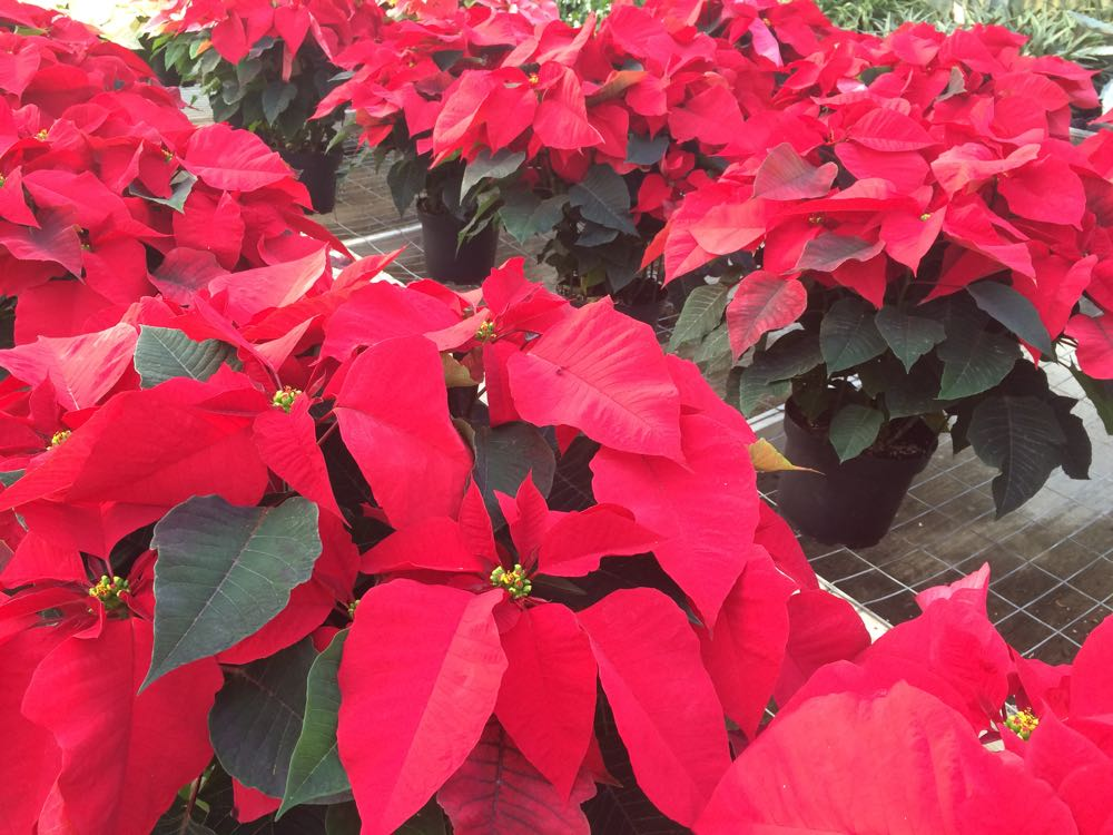 Poinsettia color comes from leaves changing by light deprivation. (Photo by Charlotte Ekker Wiggins)