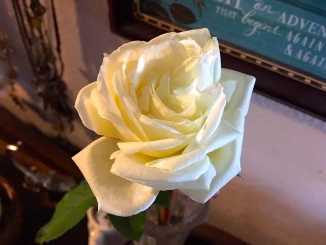 The Double Delight hybrid tea rose finally fully open! (Photo by Charlotte Ekker Wiggins)