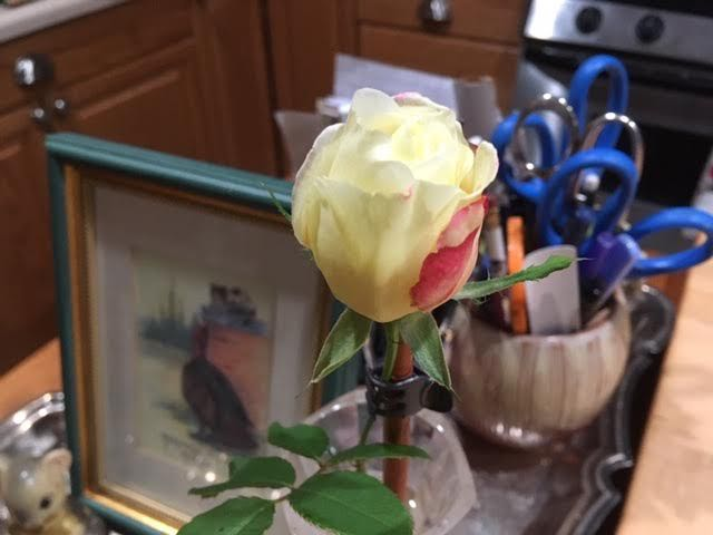 Double Delight hybrid tea rosebud a day after I picked it. (Photo by Charlotte Ekker Wiggins)