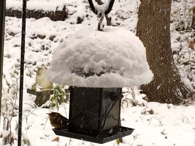 A wren takes refuge under the bird feeder cover during a snow storm. (Photo by Charlotte Ekker Wiggins)
