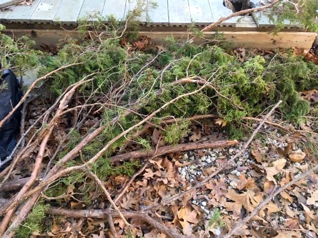 Cedar tree branches ready to become garden fencing. (Photo by Charlotte Ekker Wiggins)