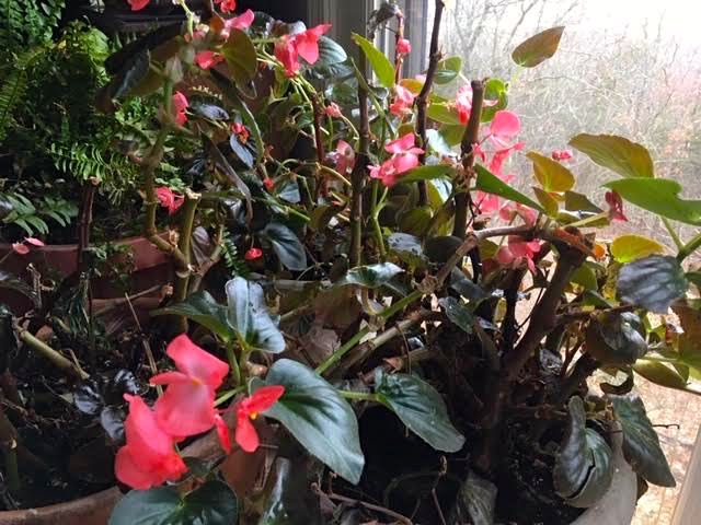 Three pots of salvaged begonias growing nicely in a south window. (Photo by Charlotte Ekker Wiggins)