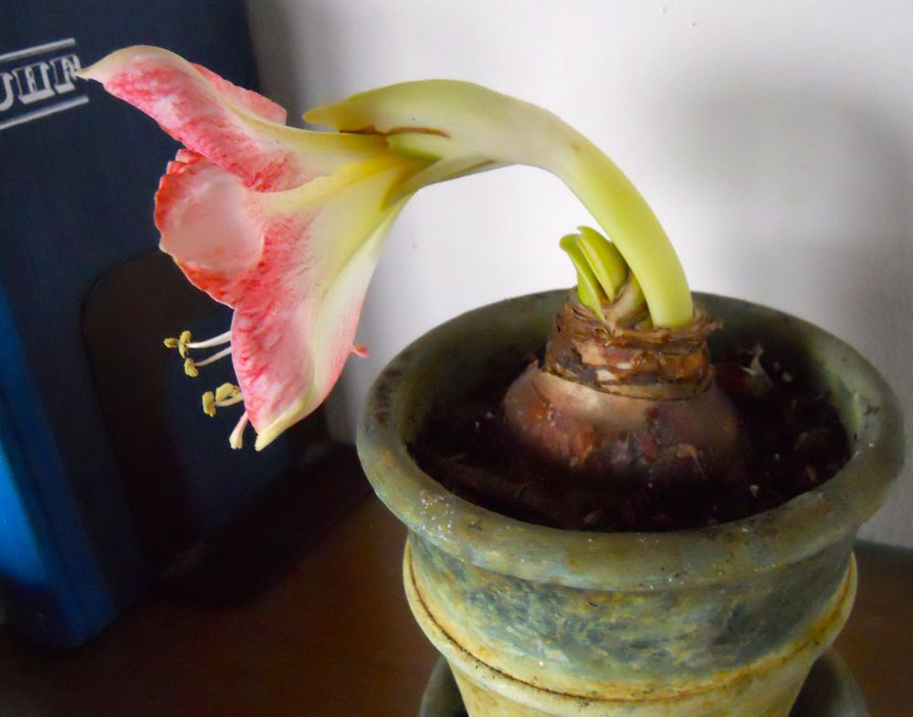 Another view of the kind of flower bud you want to see on an Amaryllis bulb. (Photo by Charlotte Ekker Wiggis)