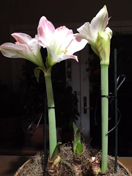 Two of the three Apple Blossom Amaryllis bulbs in bloom. (Photo by Charlotte Ekker Wiggins)