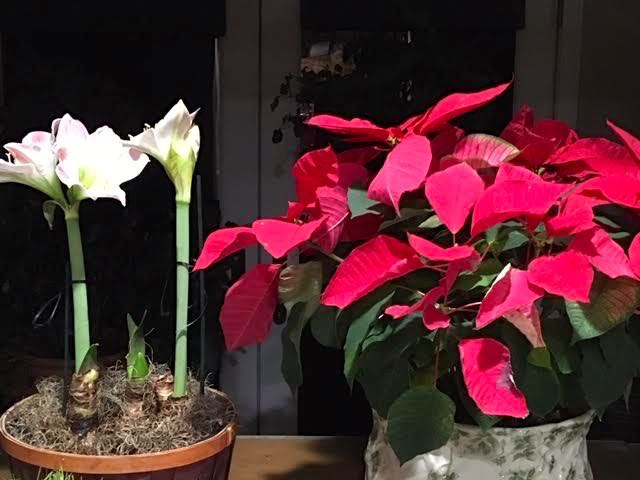 Apple Blossom Amaryllis sitting next to my Christmas poinsettia. (Photo by Charlotte Ekker Wiggins)