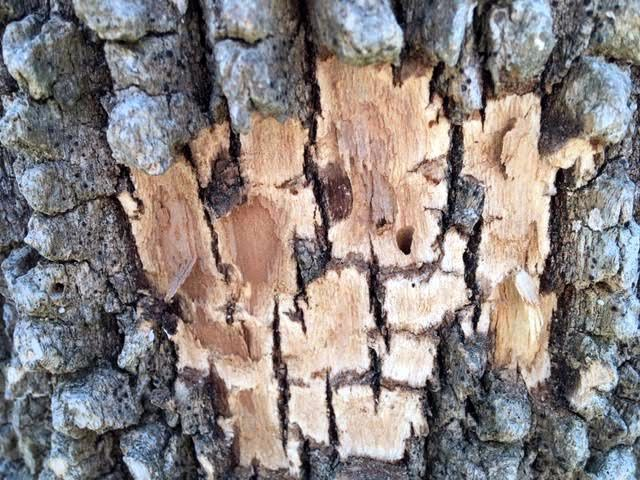 Emerald ash borer exit hole on the side of one of my former ash trees. (Photo by Charlotte Ekker Wiggins)