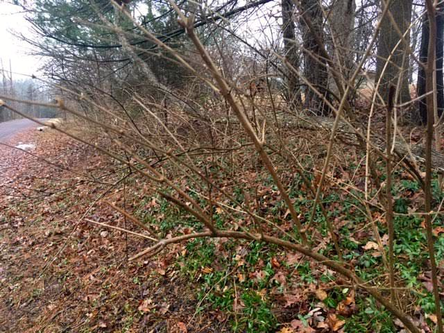 This is bush honeysuckle in winter, one of Missouri's top 10 invasives. It kills everything that grows under it. (Photo by Charlotte Ekker Wiggins)