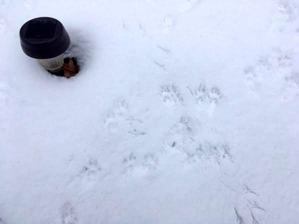 These look like squirrel prints along with some birds on the right. (Photo by Charlotte Ekker Wiggins)