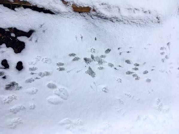 One more conflagration of foot prints, so easy to see in the snow. (Photo by Charlotte Ekker Wiggins)