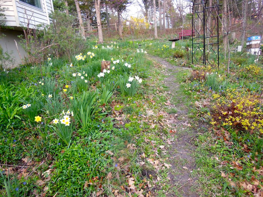 Spring is all about daffodils in my hillside garden. (Photo by Charlotte Ekker Wiggins)