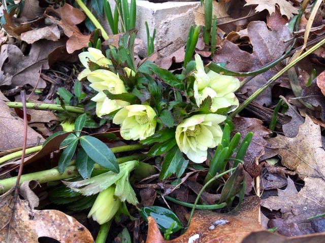 My yellow Lenten Roses herald the arrival of yellow in my garden. (Photo by Charlotte Ekker Wiggins)