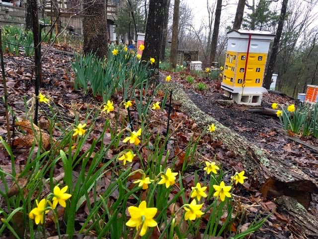 Can you distinguish these daffodils? King Alfred in back, Tete-a-Tete in front. (Photo by Charlotte Ekker Wiggins)