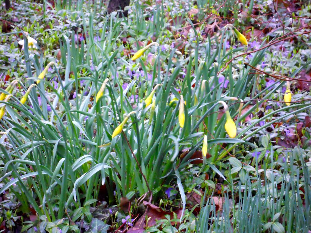 These daffodil buds are excellent cut flower candidates. (Photo by Charlotte Ekker Wiggins)