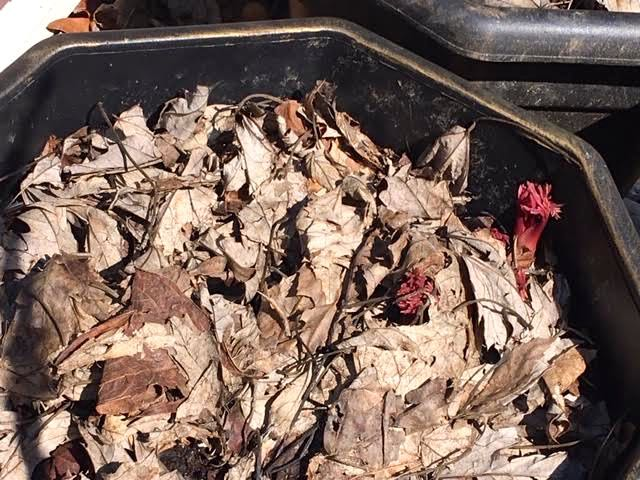 Bare root Itoh peonies are getting a start first in a container. (Photo by Charlotte Ekker Wiggins)