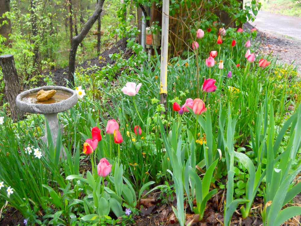 A sprinkling of tulips greet me at the top of the driveway. (Photo by Charlotte Ekker Wiggins)