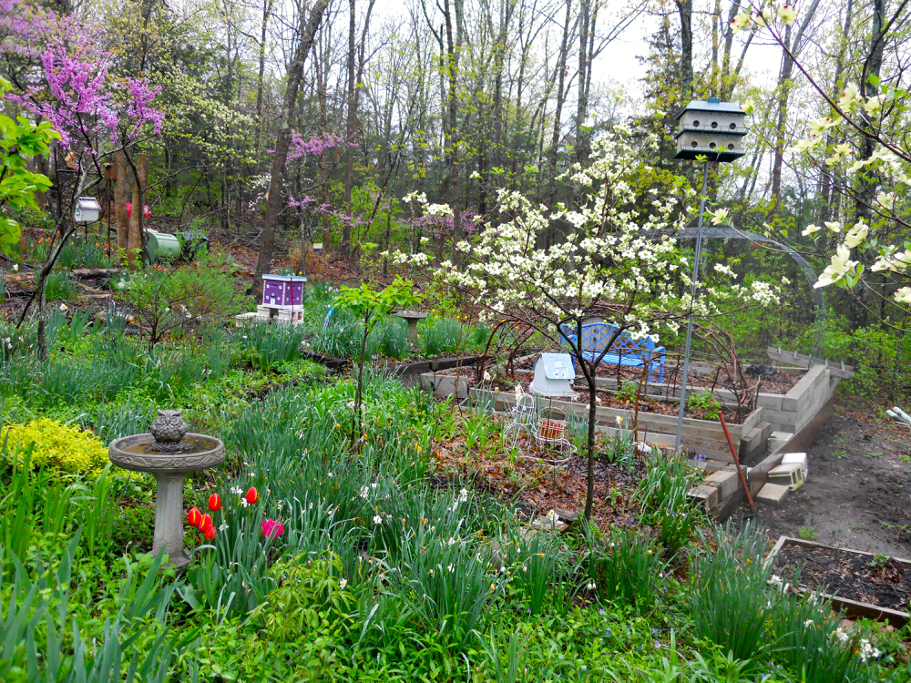 A few tulips brighten up the southern flower beds. (Photo by Charlotte Ekker Wiggins)