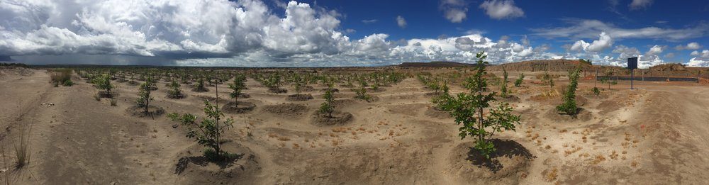2 year old pongamia  at chingola copper tailings dam, copperbelt, zambia: erosion is stopped, vegetation is colonising around the pongamia plant nurses.