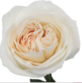 Garden Rose Creamy White