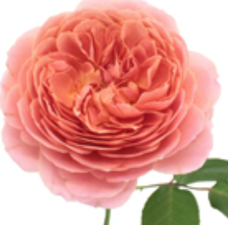 Cabbage Garden Rose,  Antique Pink