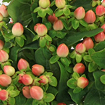 Peaches and Cream Hypericum