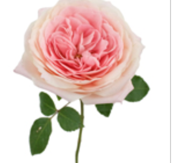 Cabbage Rose Shell Pink