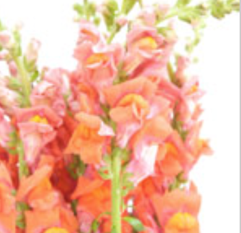 Orange Sorbet Snapdragon