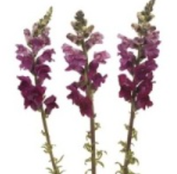 Burgundy Snapdragon